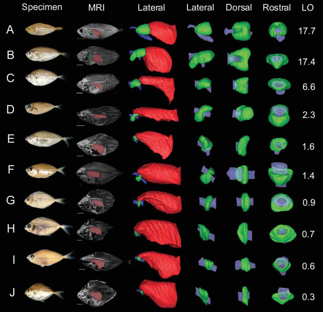 Light Organ Evolution in Ponyfishes - 09. Chakrabarty, P., Davis, M.P., Smith, W.L., Berquist, R., Gledhill, K.M., Frank, L.R., and Sparks, J.S. (2011). Evolution of the light organ system in ponyfishes (Teleostei: Leiognathidae). Journal of Morphology. (272) 6: 704-721.Google Scholar