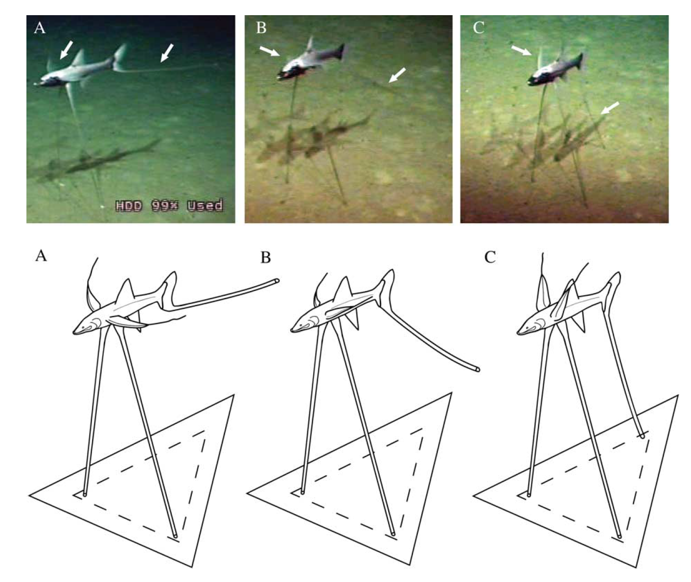 Tripodfish Locomotion - 05. Davis, M.P., and Chakrabarty, P. (2011). Tripodfish locomotion and landing behavior (Aulopiformes: Bathypterois) from video observations at bathypelagic depths in the campos basin of Brazil. Marine Biology Research, (7) 3:297-303.Google Scholar
