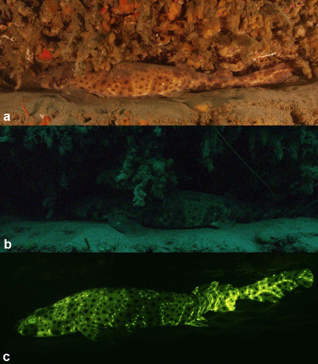 Visualization of Biofluorescence in Sharks - 21. Gruber, D.F., Loew, E.R., Deheyn, D.D., Akkaynak, D., Gaffney, J.P., Smith, W.L., Davis, M.P., Stern, J.H., Pieribone, V.A., and Sparks, J.S. (2016). Biofluorescence in Catsharks (Scyliorhinidae): Fundamental Description and Relevance for Elasmobranch Visual Ecology. Scientific Reports. 6, 24751; doi: 10.1038/srep24751Google ScholarOPEN ACCESS