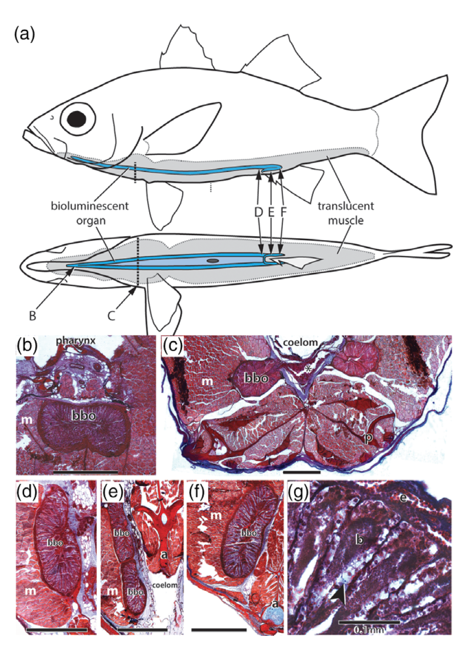 Morphology of bioluminescent organs and evolutionary relationships among the glowbellies and their allies (Percomorpha: Acropomatidae) - 29. Ghedotti, M.J., Gruber, J.N., Barton, R.W., Davis, M.P., and Smith, W.L. (2018). Morphology and evolution of bioluminescent organs in the glowbellies (Percomorpha: Acropomatidae) with comments on the taxonomy and phylogeny of Acropomatiformes. Journal of Morphology.