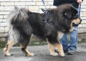 Tibetan Mastiff  en.wikipedia.org