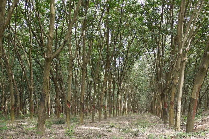 A typical rubber plantation in Thailand. After 30 years the trees are no longer viable for rubber production and are normally removed and new saplings planted in their place. The use of the timber in furniture products makes perfect sense but is usually done with very little design input. Dessein Furniture has changed that and shown how with the right manufacturer the wood can be used in quality furniture production.