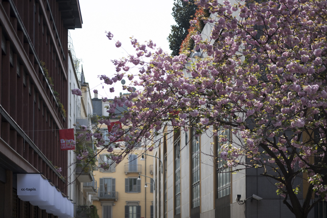 The streets of Brera were awash with spring blossoms. Looking onto the shopfront of  cc-tapis in v ia San Simpliciano. Photo: Craig Wall
