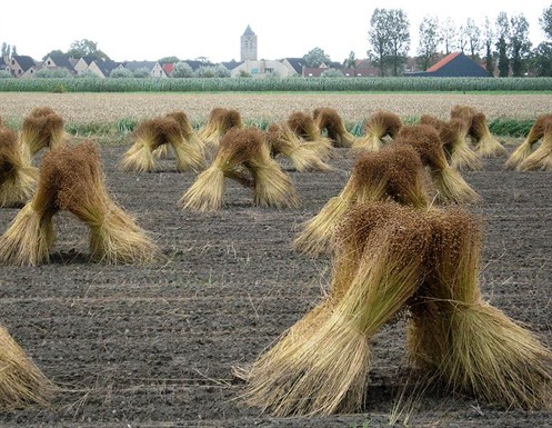 Harvested flax ready to start the process of being made into Belgian linen. This miraculous material while incredibly strong needs a binding agent for it to be made into a chair. Image courtesy of  Belgian Linen.