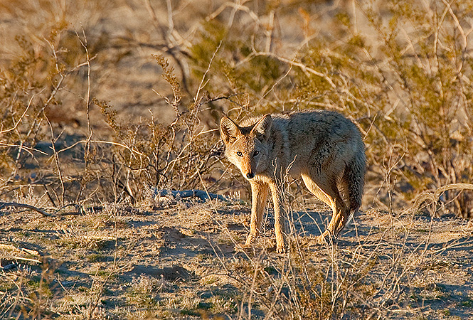 Maybe blueprinters will spot a coyote on the next field expedition? Brittanie Rodriguez hopes so!