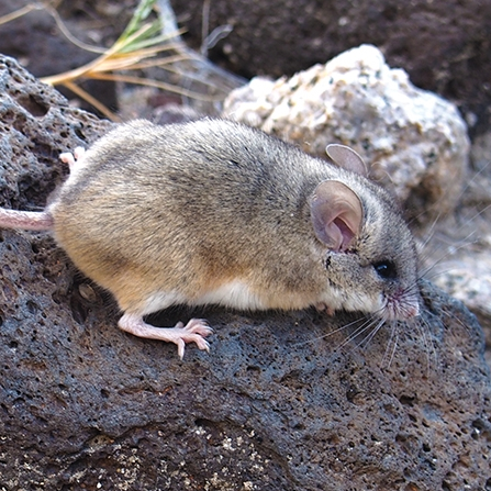 $5/monthadopts a canyon mouse