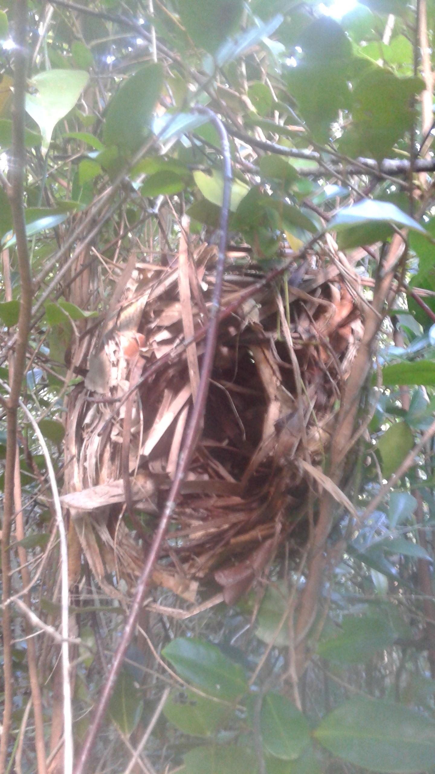 Mouse lemur nest