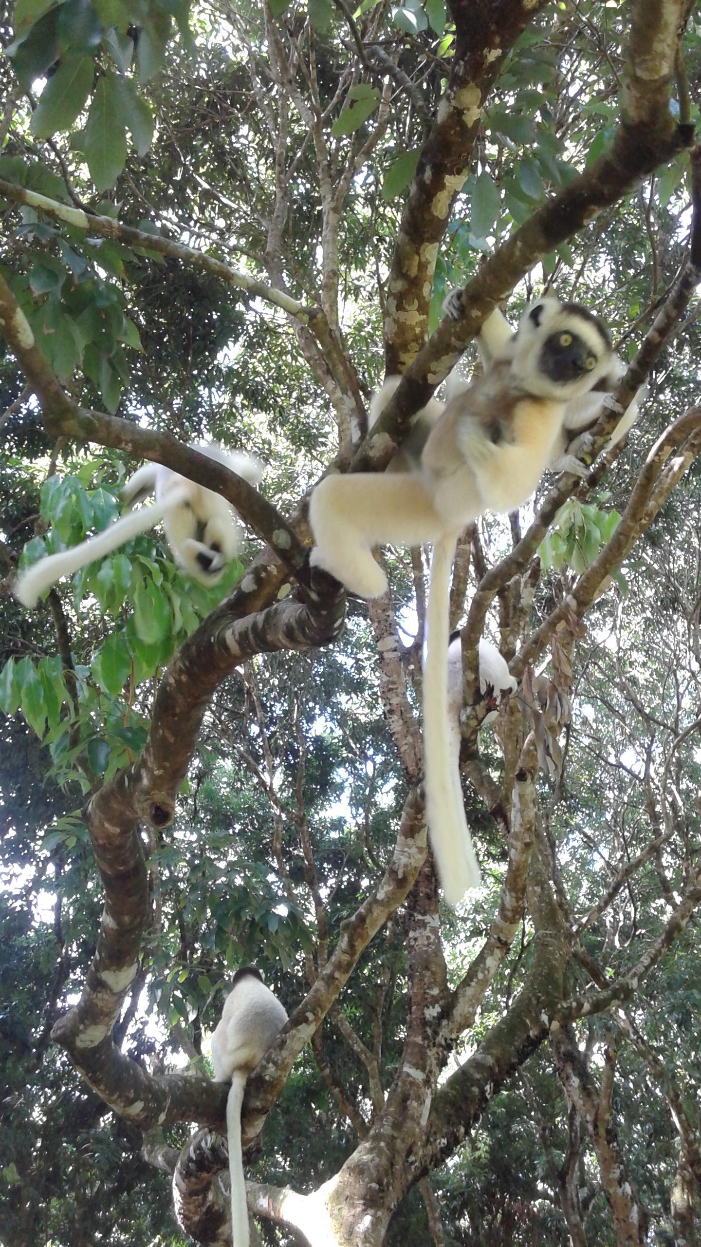 Sifaka lemurs