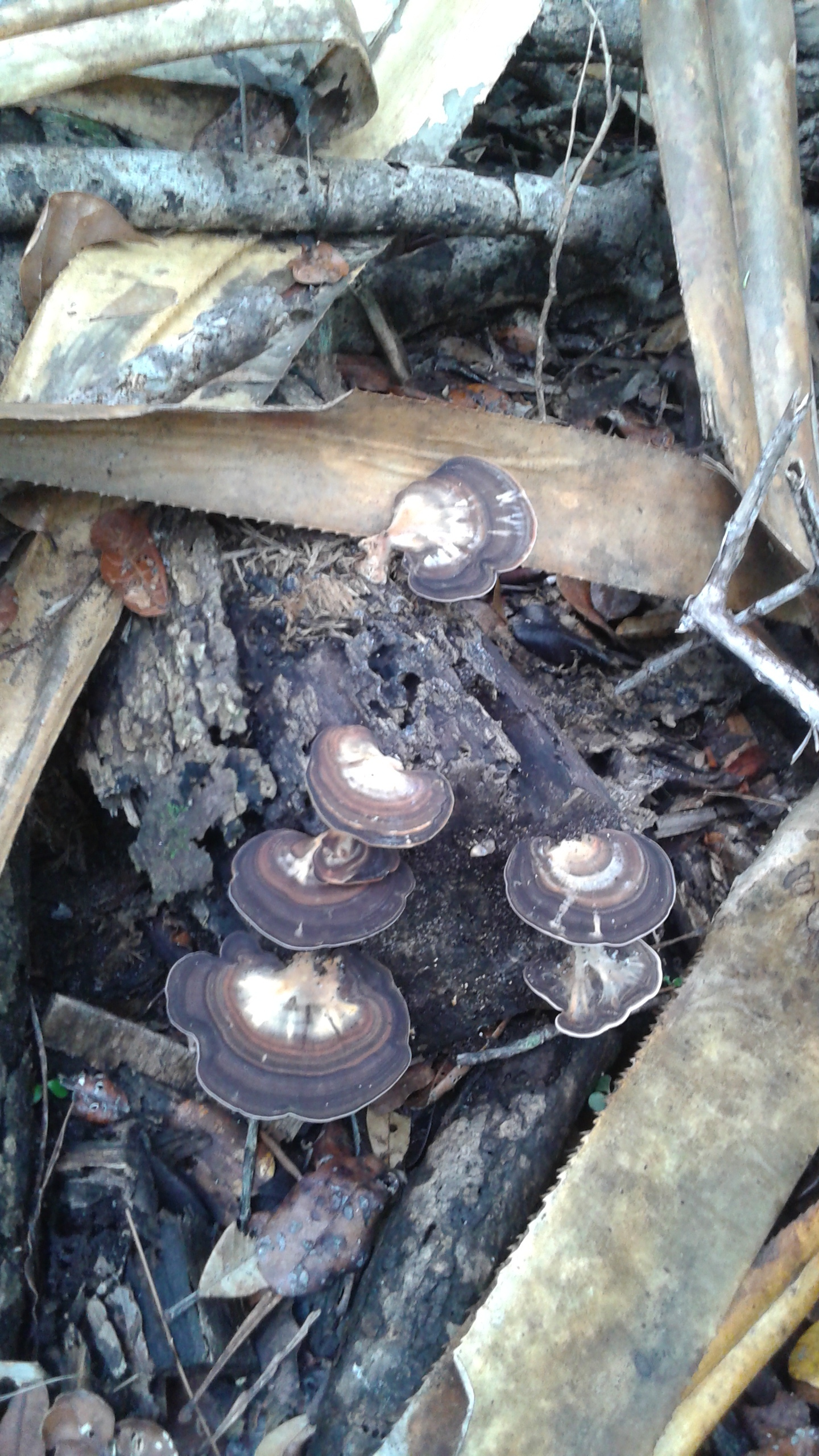 Shelf mushrooms