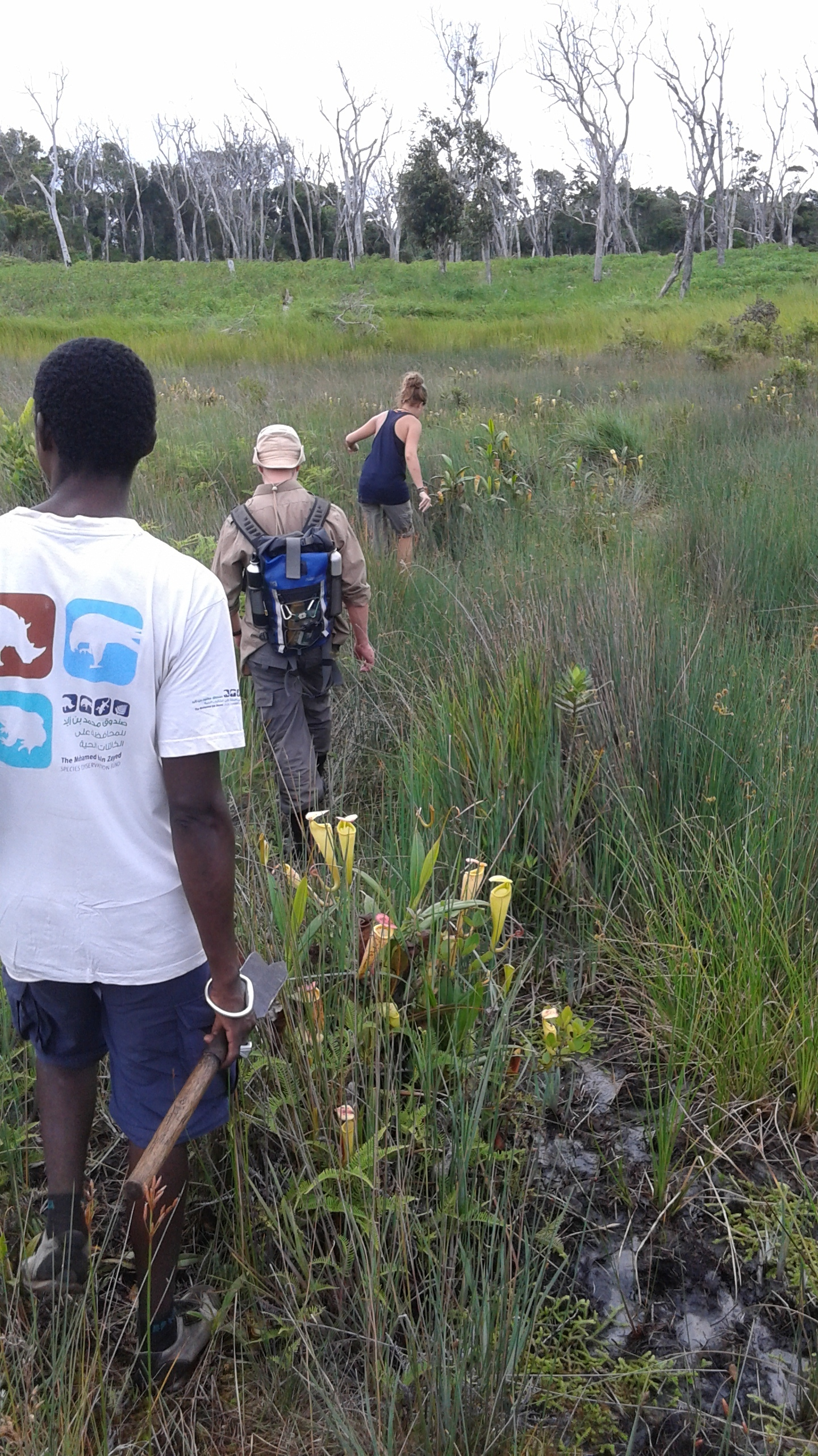 Marsh with pitcher plants