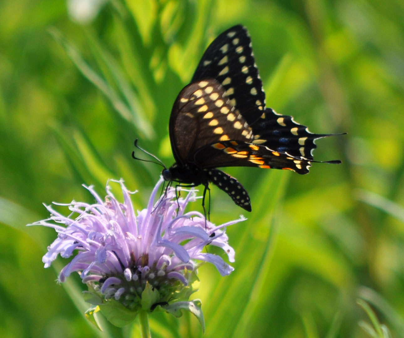 Eastern Black Swallowtail.jpg