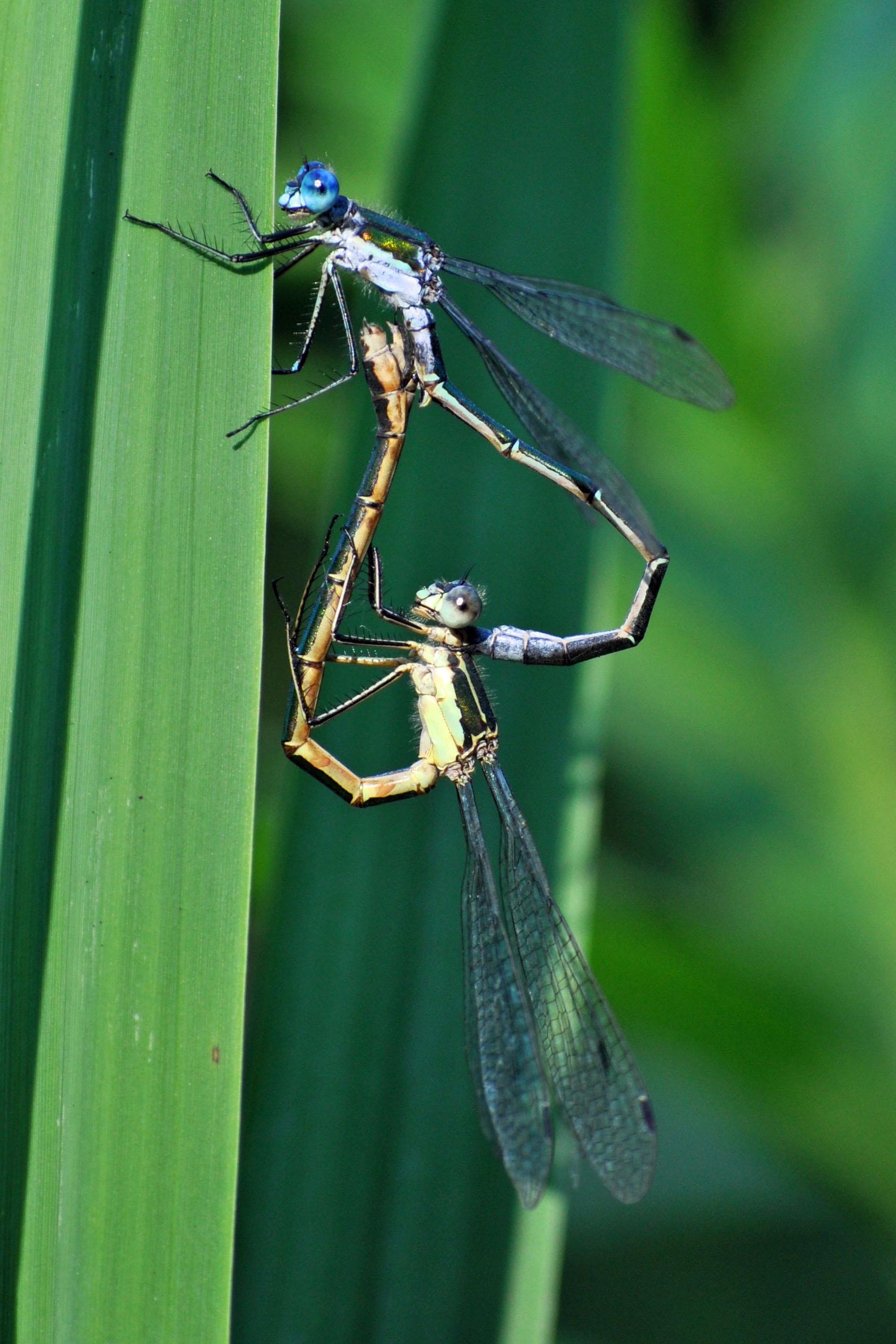 Mating damselflies.jpg
