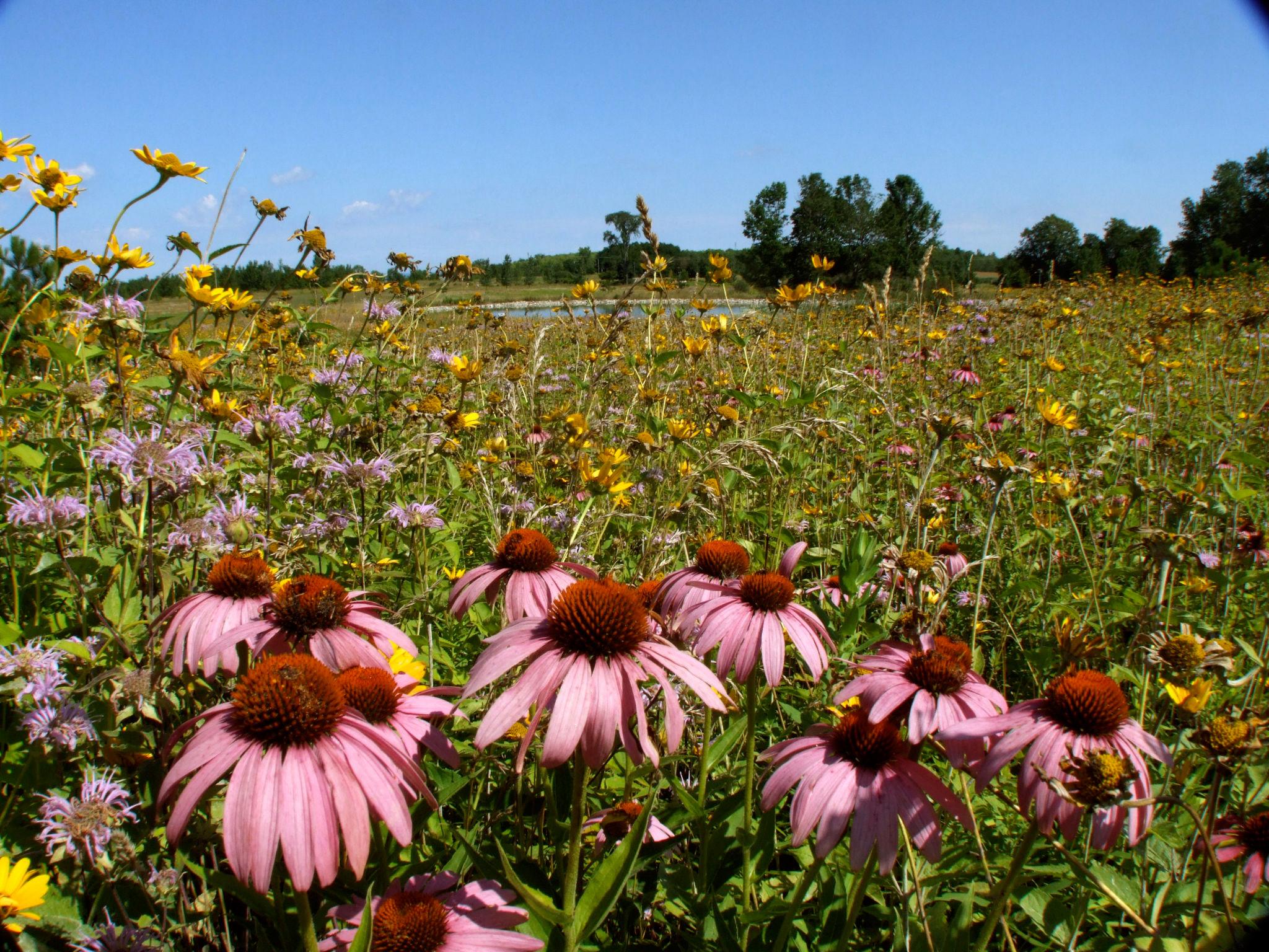 wildflower-prairie-22.jpg