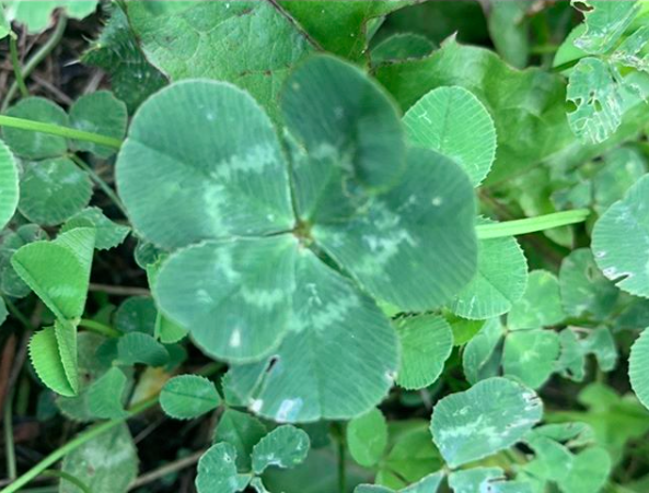 Five leaf clovers, like scarring alopecias, are probably alot more common than people realize.