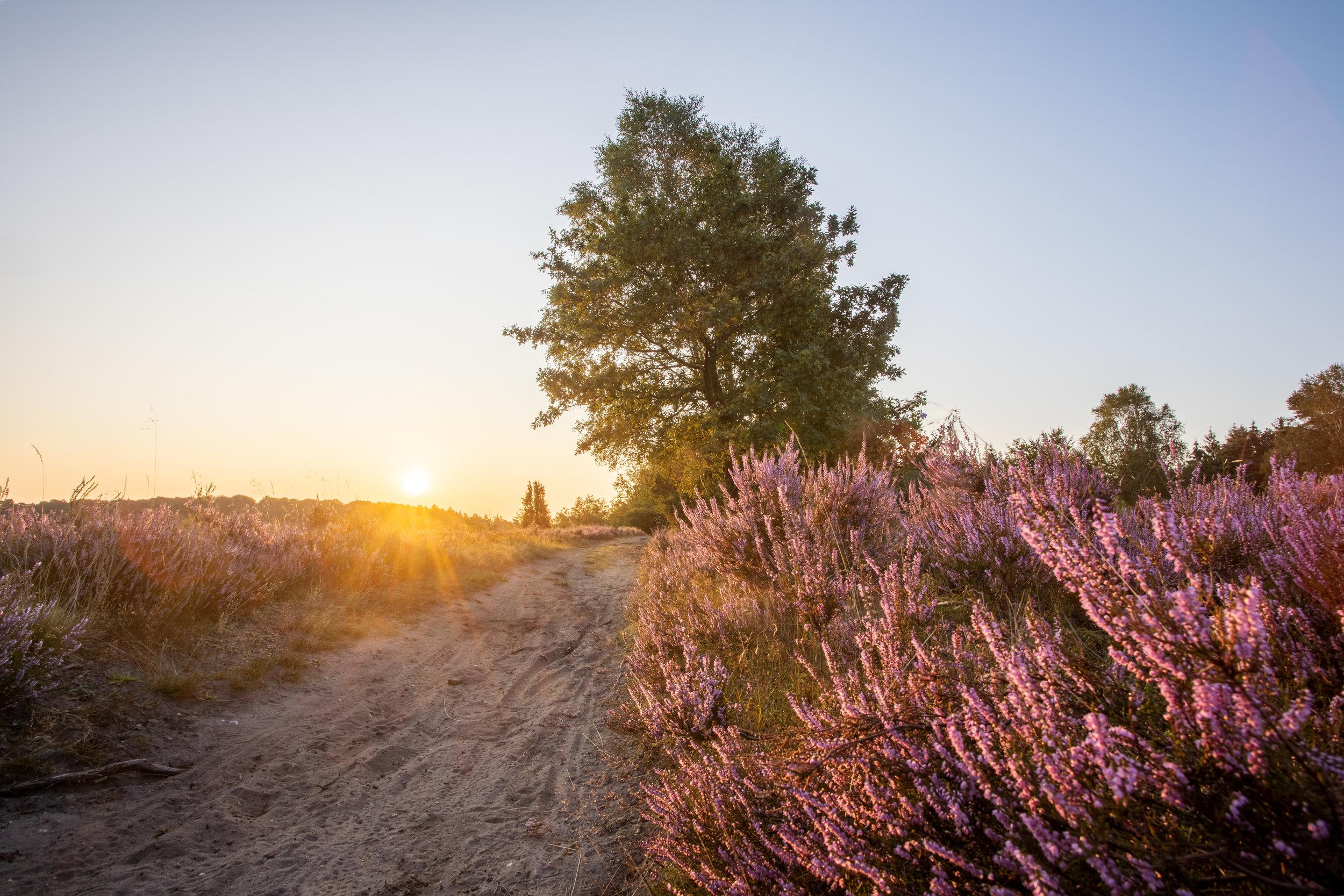 Sonnenaufgang in der Lüneburger Heide - Heideblüte