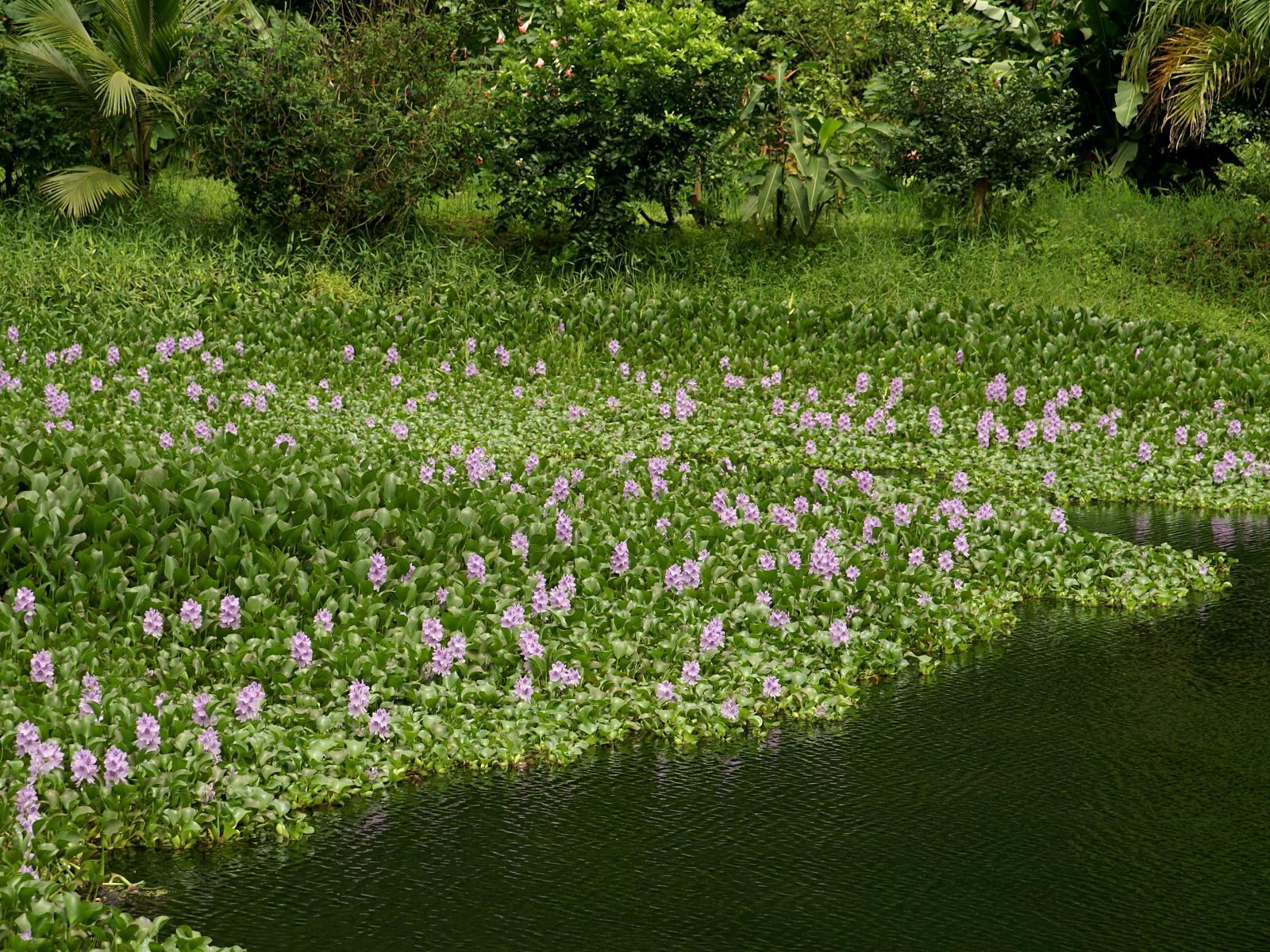 water_hyacinth_habit-2.jpg