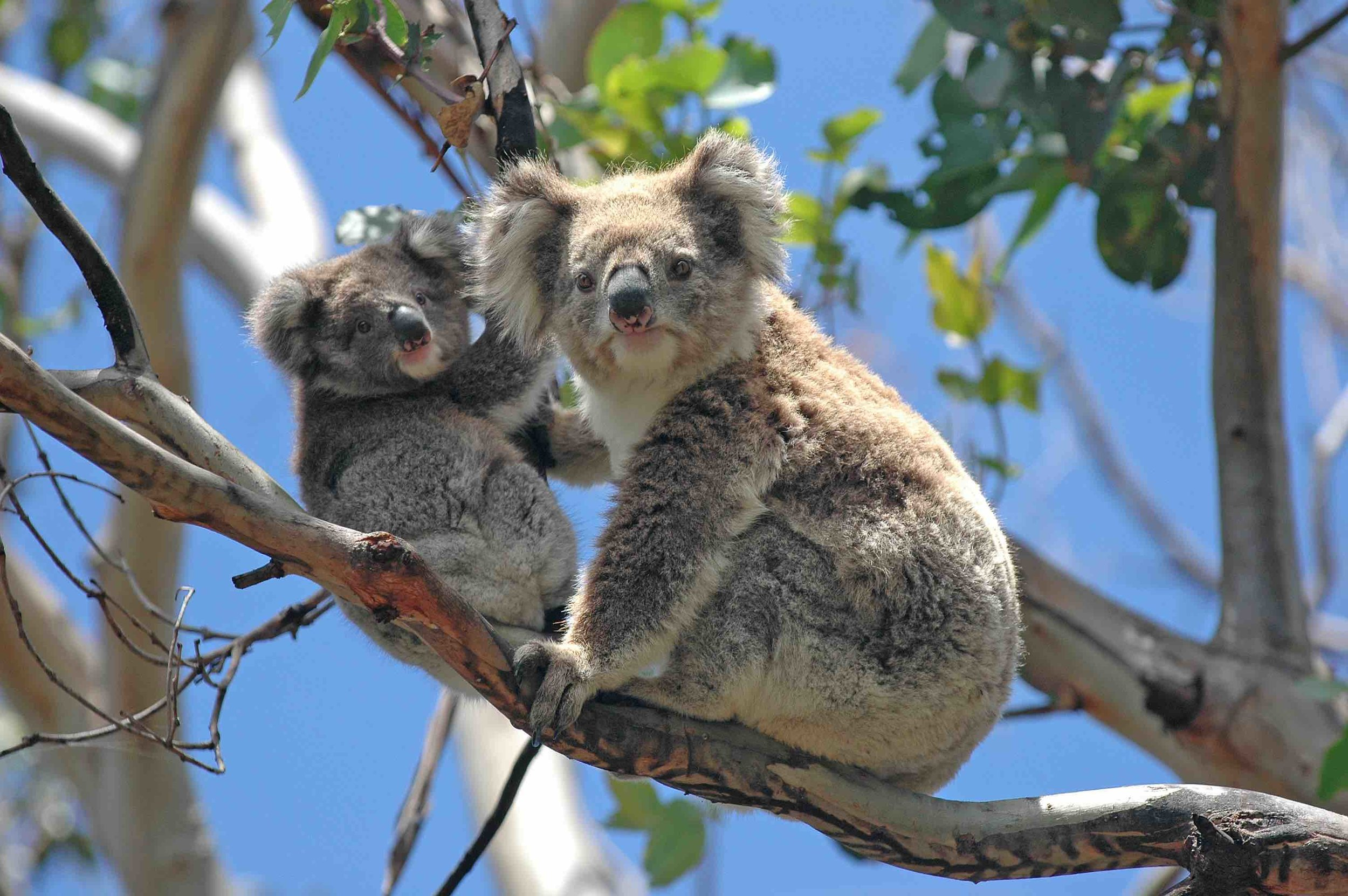 Aurora Migration Consulting Two koalas.jpg