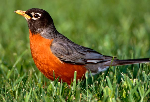 Robin, state bird of Connecticut - image from history.com