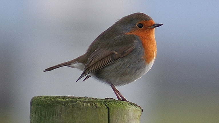 Robin, in Wales. Image from bbc.co.uk
