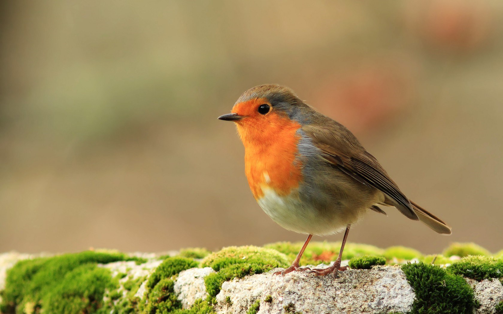 Robin, image from wallpaper-kid.com