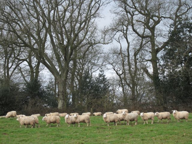 sheep herefordshire