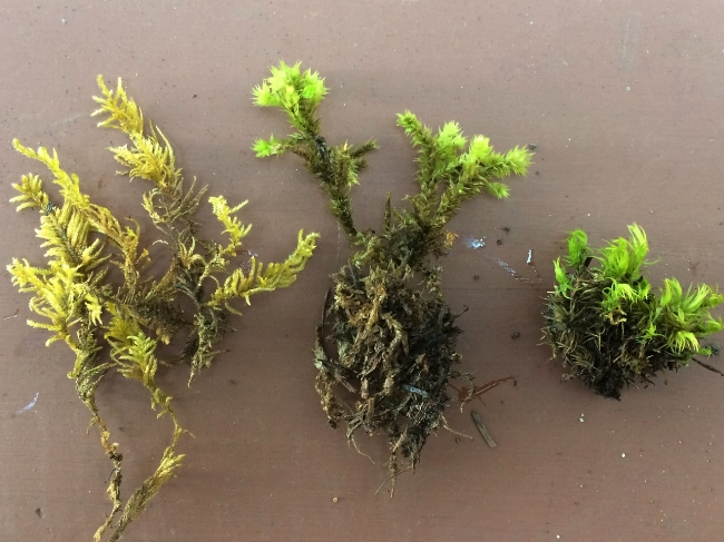 Three mosses from down the road, all growing together.  Kindbergia oregana, Hedwigia ciliata(?), Dicranium… scoparium?