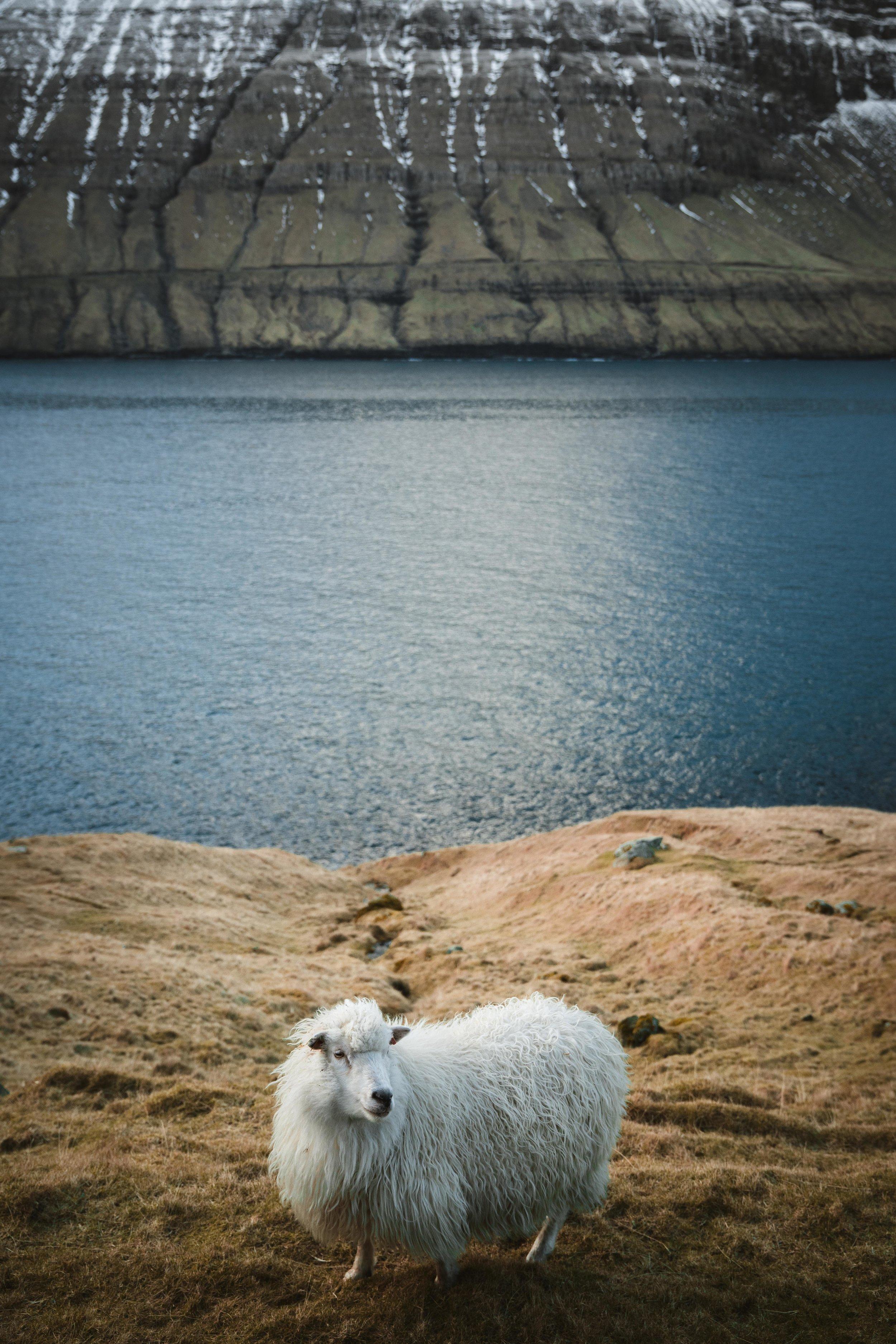 White Sheep in the Fjord_Feb 5.jpg