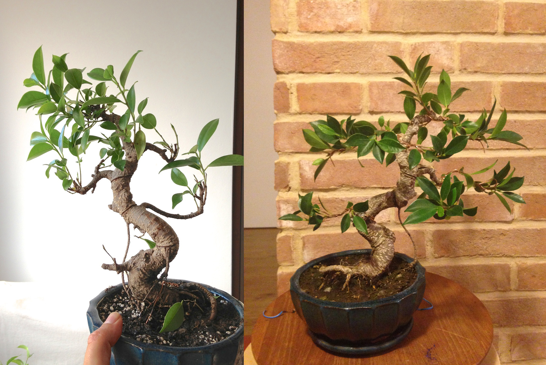FicusBefore_AfterDecember2013.png