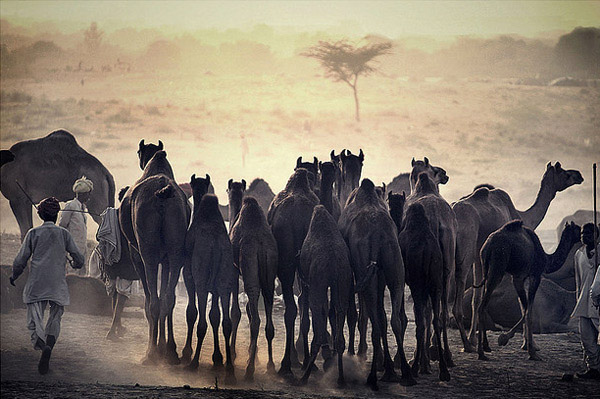 Camels in Rajasthan.  A local guy is running after his camel trying to get them to move in the direction of home.  (Image source:  Urvish Joshi )