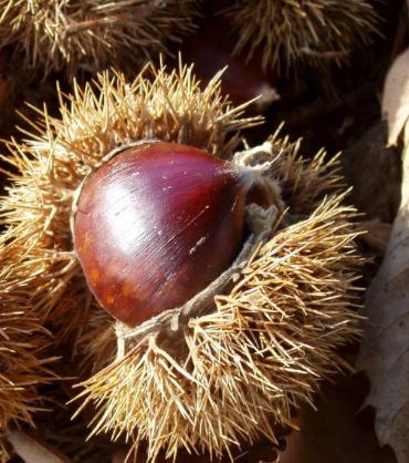 Zeni chestnuts are delicious