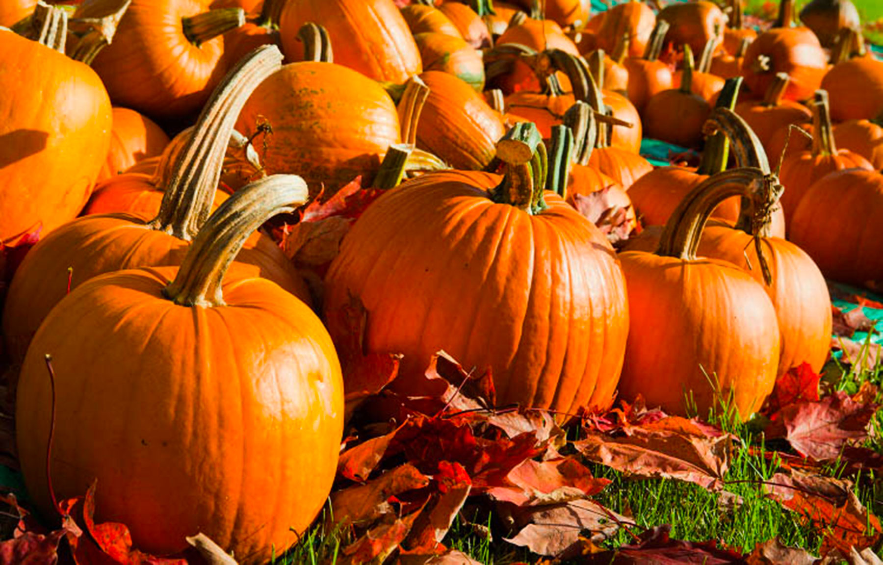 Make your own pumpkin pie with locally grown pumpkins