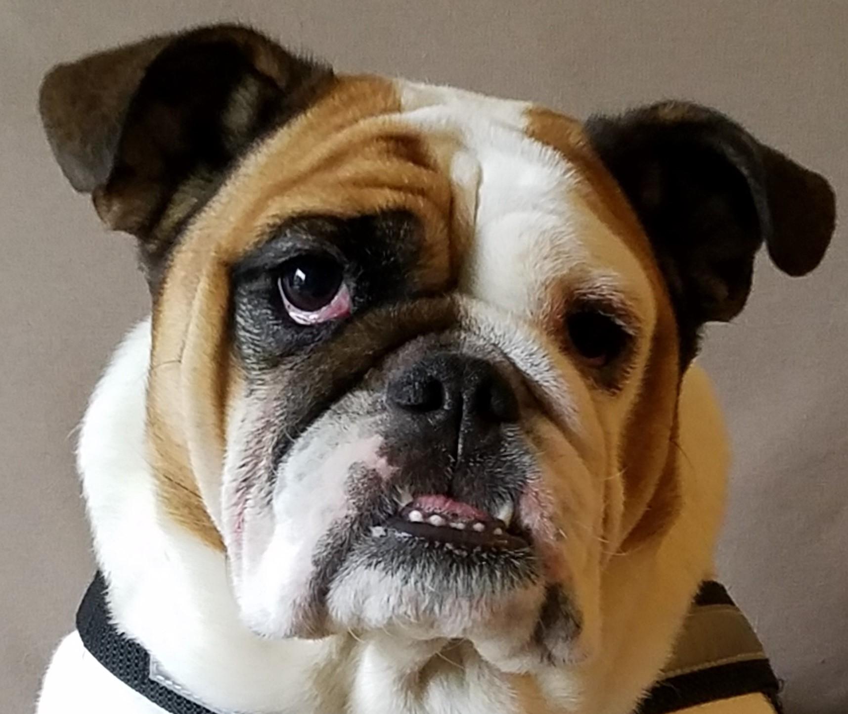 Bulldog Myrtle Close.jpg