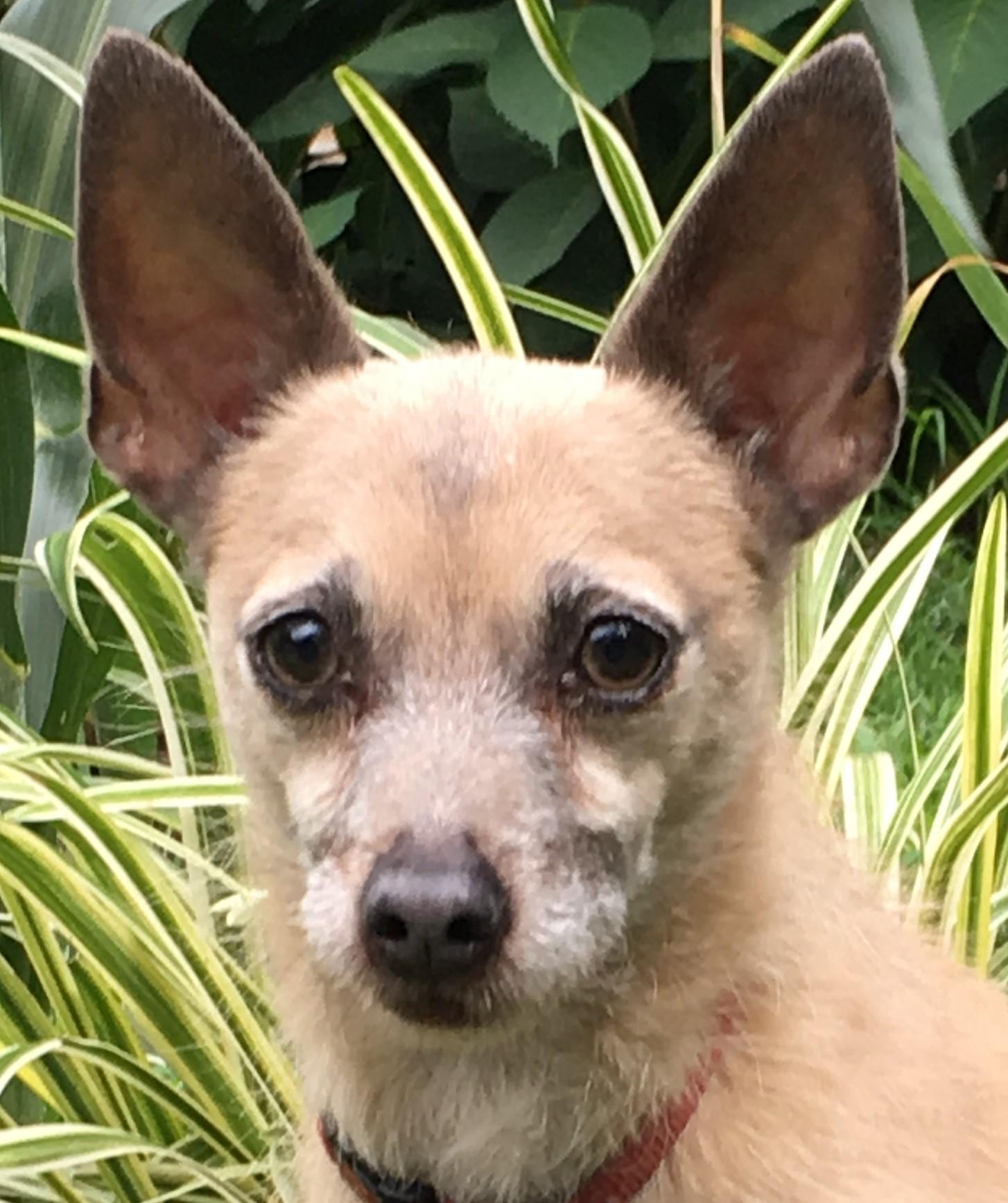Chihuahua_Frankie_Head_Shot.JPG