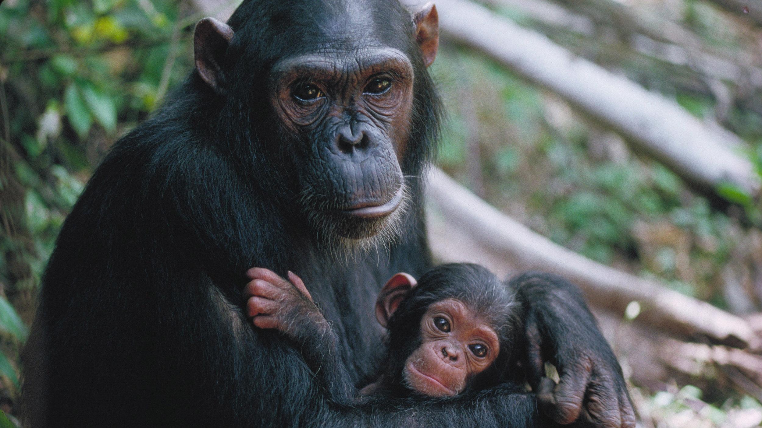 chimpanzee-tracking.jpg