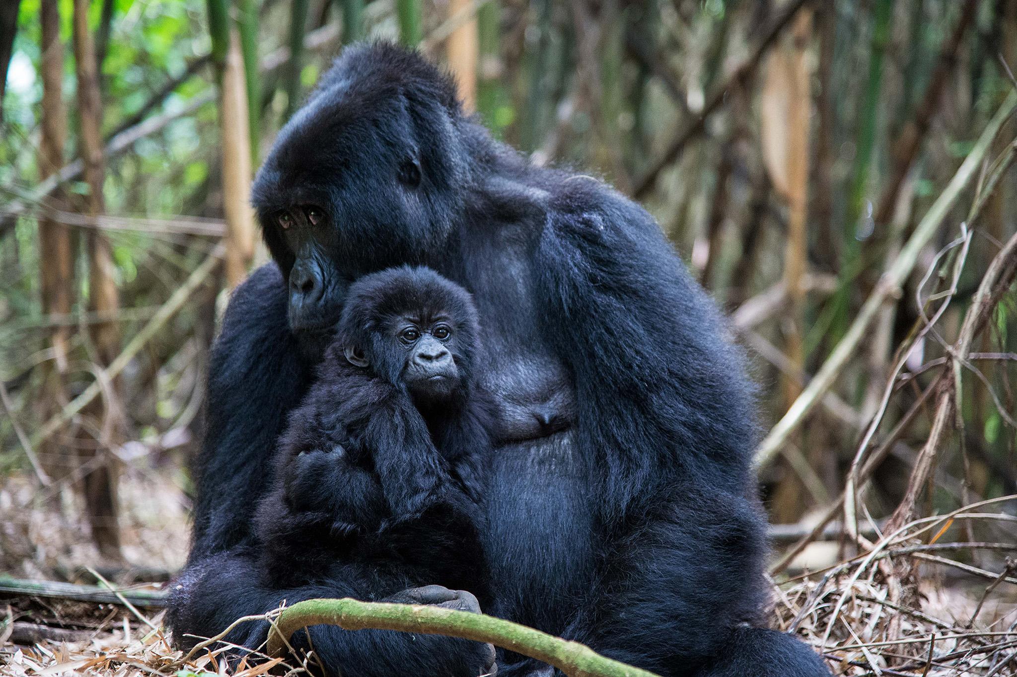 Gorilla-Photography-10.jpg