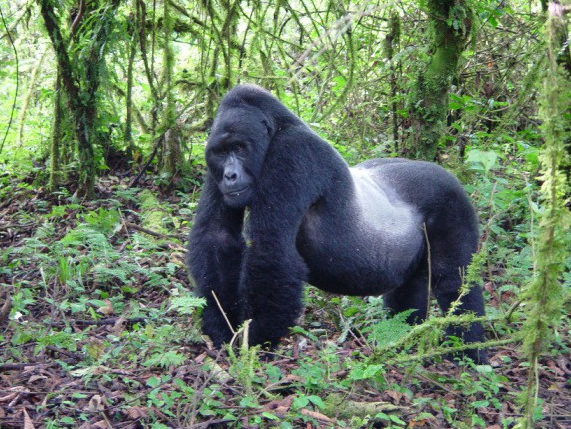 Mountain-Gorilla-Images.jpg