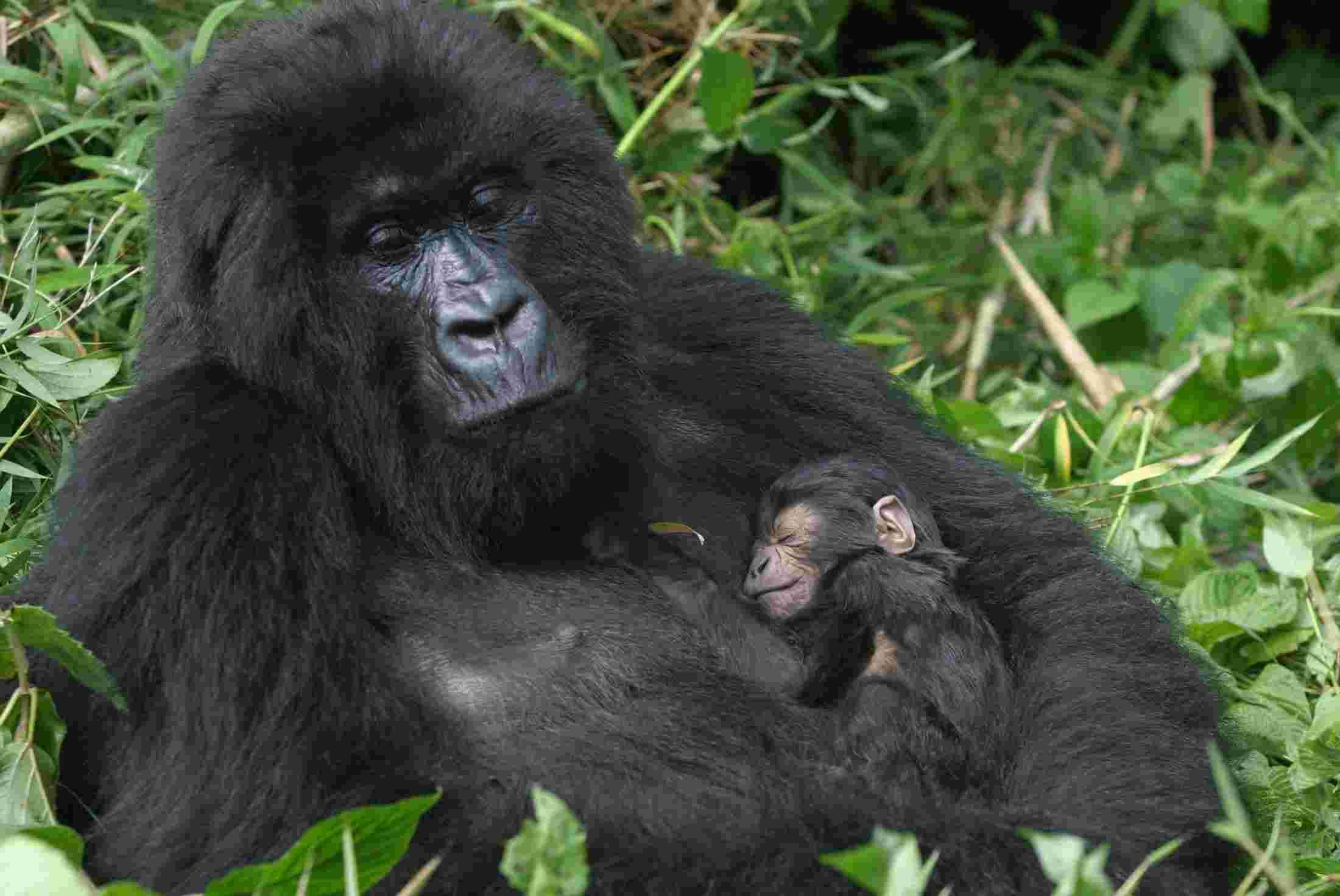 rwanda-gorilla.jpg