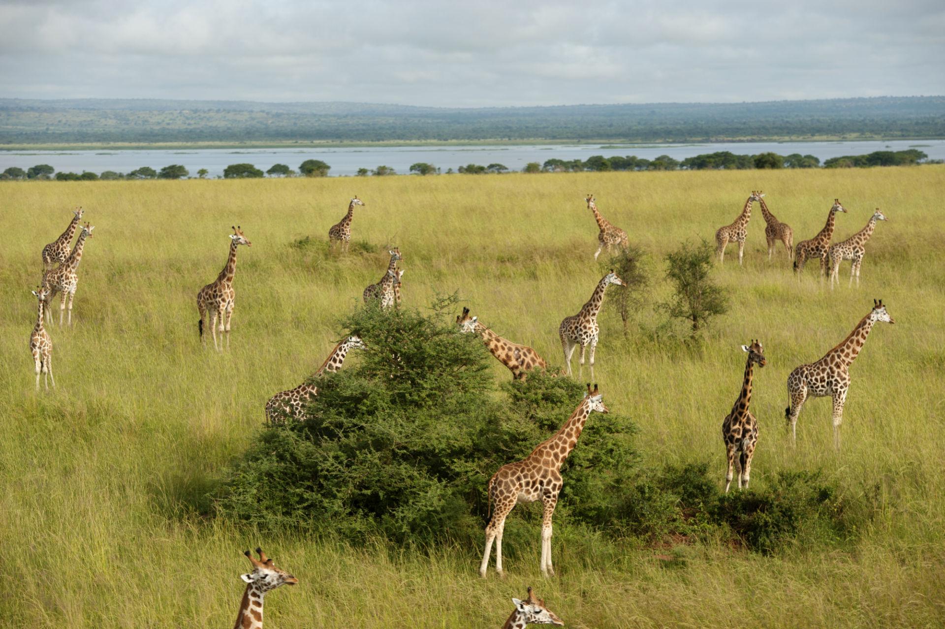 Rothchild's giraffe at Murchison Falls National Park, Uganda.Pilot was Mike Epstein, epstar@gmail.com, of the Kampala Aeroclub.