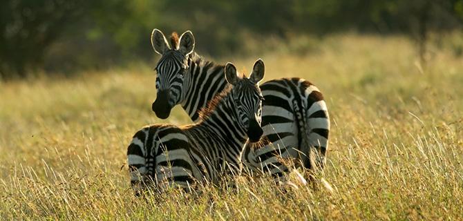 4_zebra.jpg