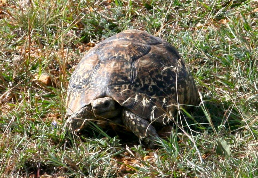 Kenya-El-Karama-21-tortoise.jpg