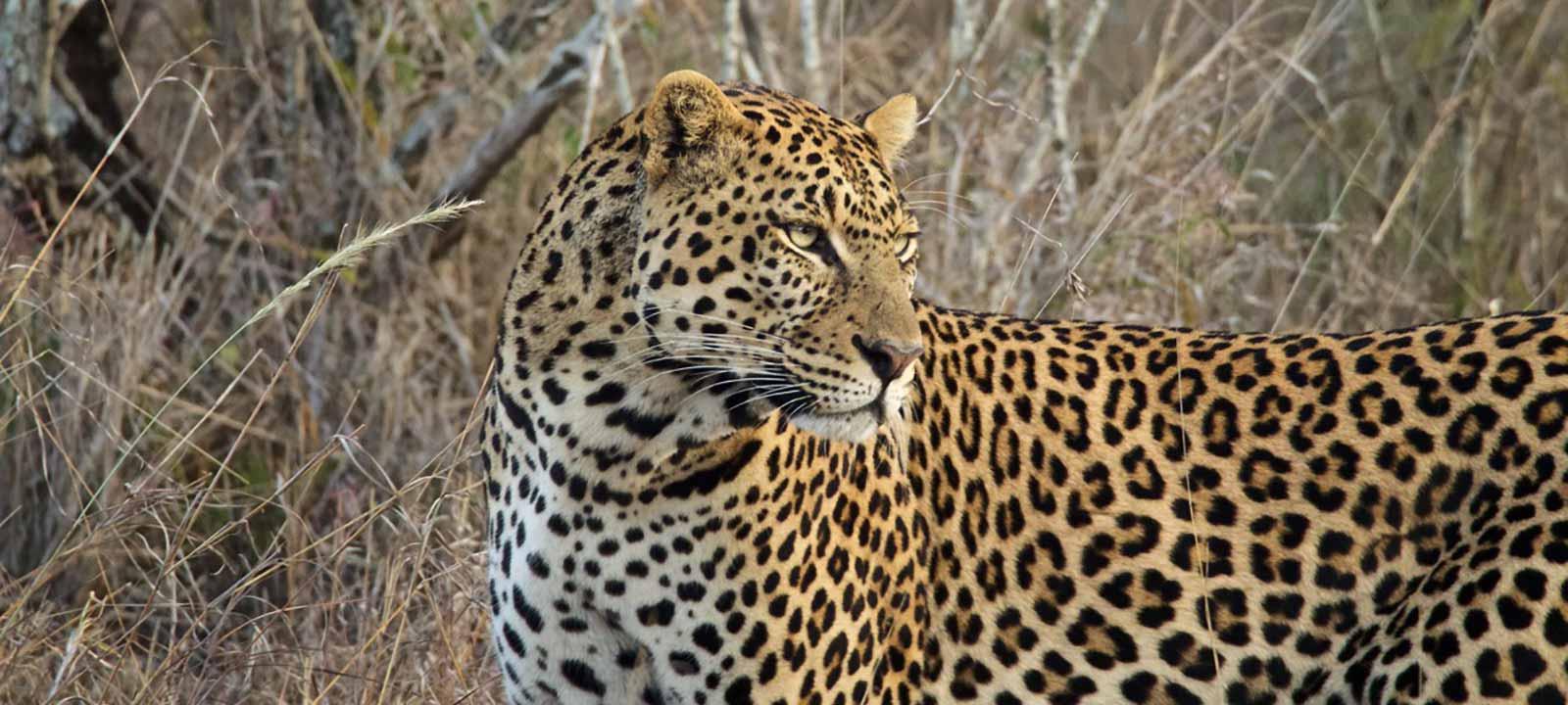 leopard-closeup.jpg