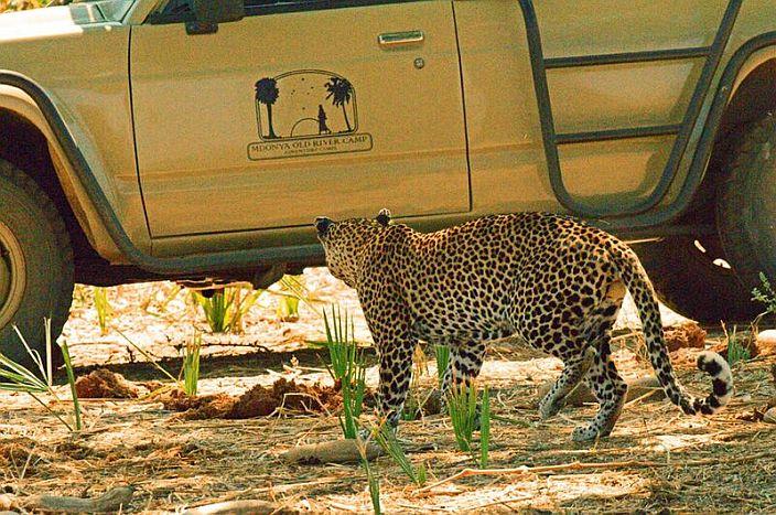 Mdonya-Old-River-Camp-Game-drive-leopard-700.jpg