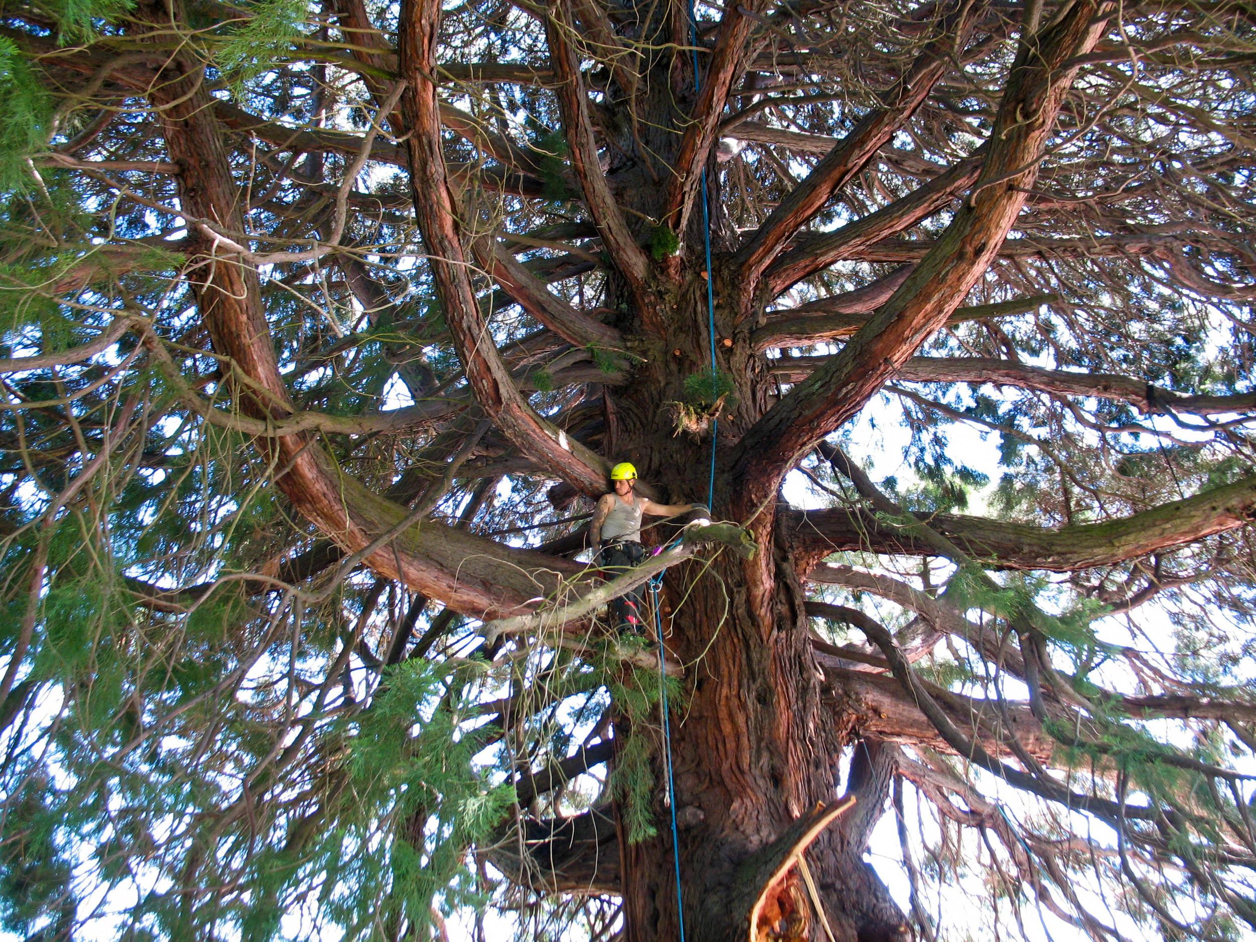 Giant Sequoia 005.jpg