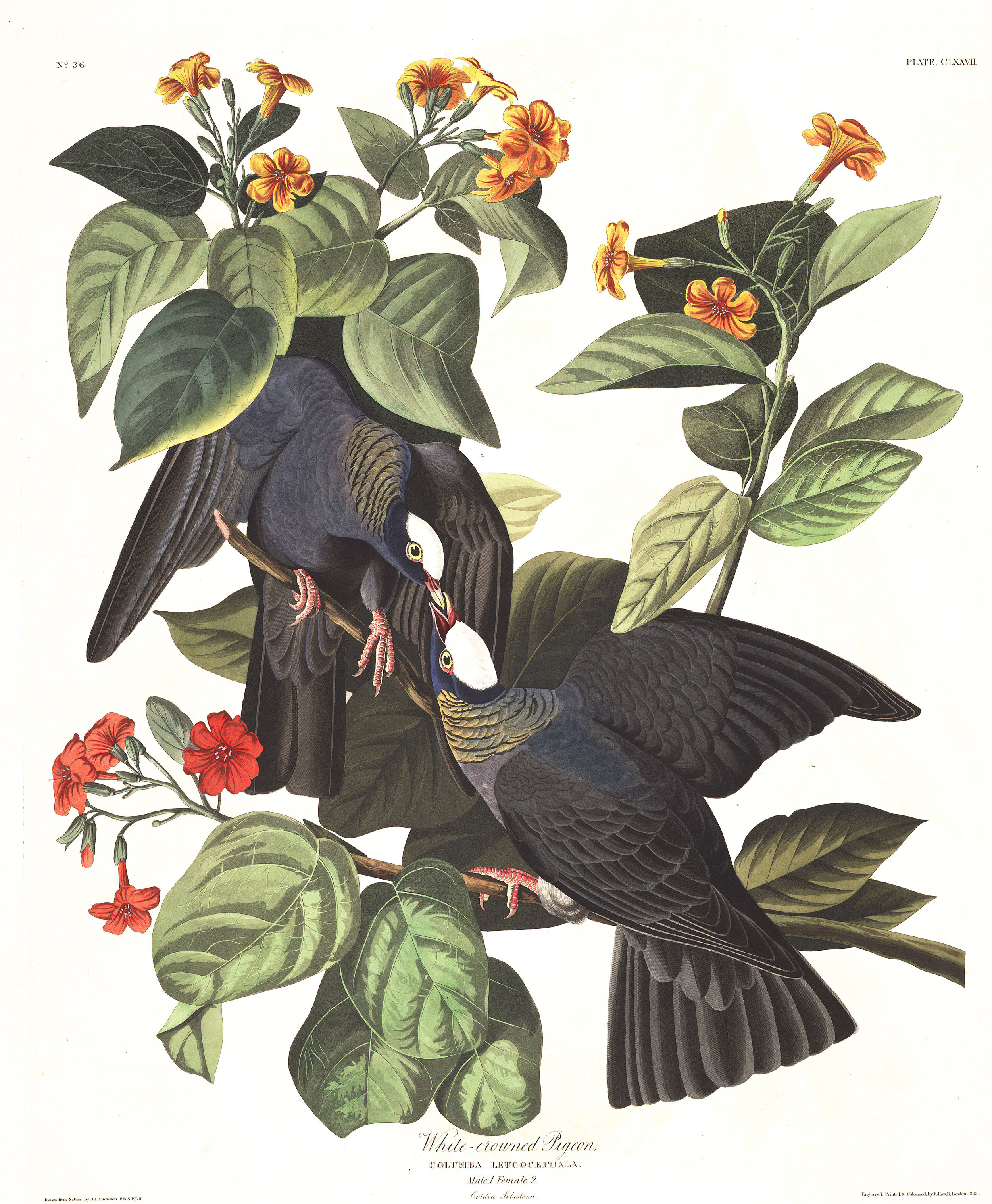 plate-177-white-crowned-pigeon-495.jpg