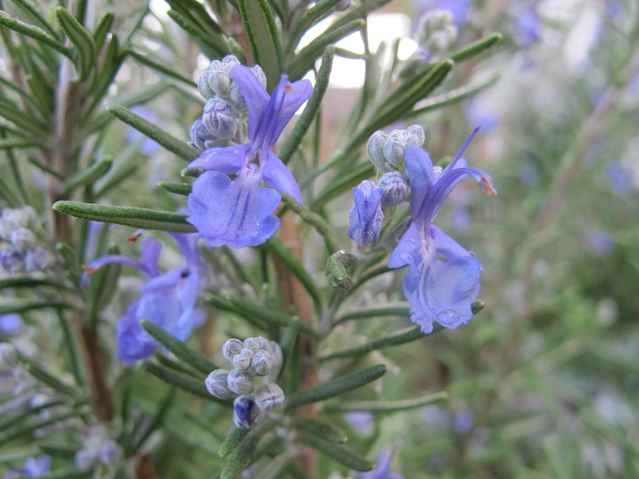 Rosemary_in_bloom.JPG