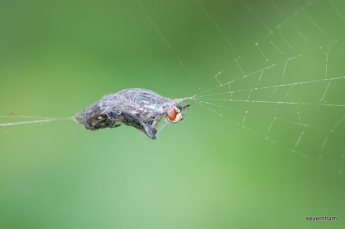 Spider caught in spider's web