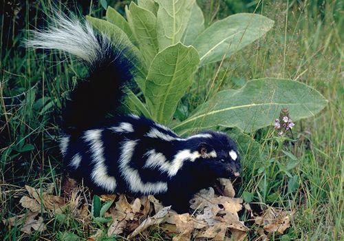 Spotted Skunk.jpg