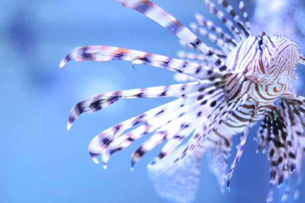 seaquest_lionfish.JPG