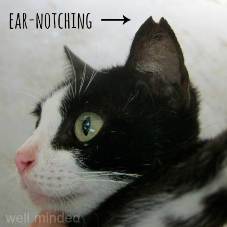 This is what ear-notching looks like.   photo source: santisookdogsandcats.org