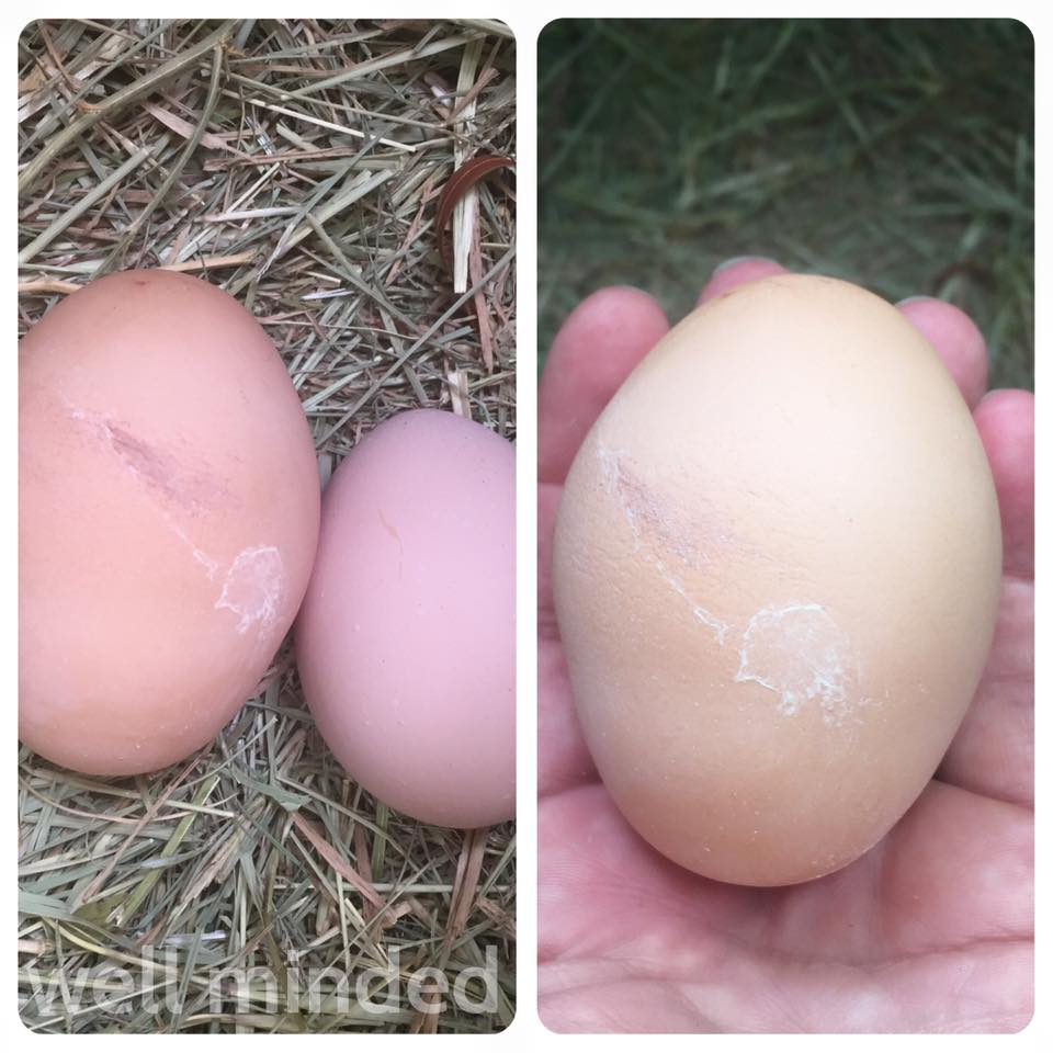 "Eggs I collected during one of my chicken-sits. At left is the ""distressed"" egg side-by-side with a normal egg. At right is a closeup of the distressed egg."